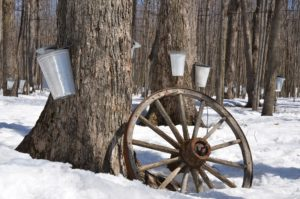 Forest with many trees tapped with buckets for collecting maple sap